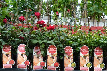 geparfumeerde-rozen