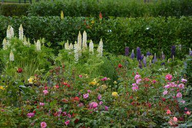 rozen-in-de-kwekerij