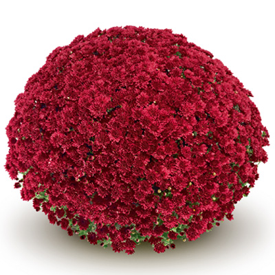 bolchrysant (Belgian Mums Classic Mefisto-red)