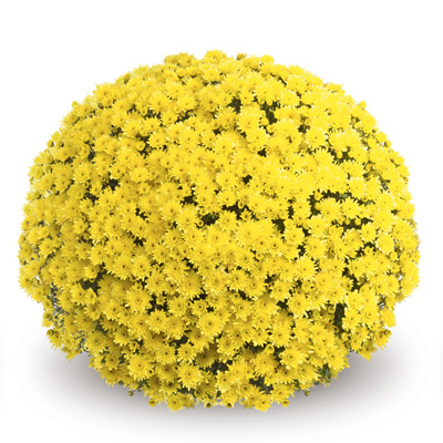bolchrysant (Belgian Mums Classic Mefisto-yellow)