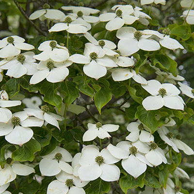 Chinese-kornoeltje-(Cornus-kousa-China-Girl)