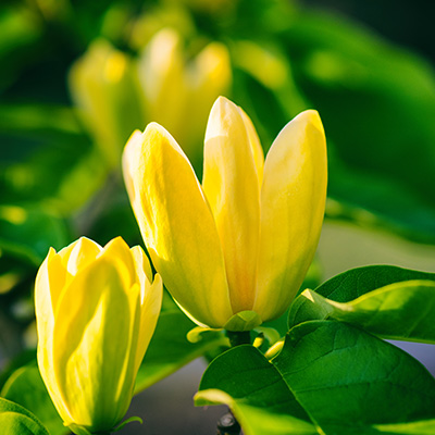 gele tulpenboom-(Magnolia-x-Yellow-Bird)