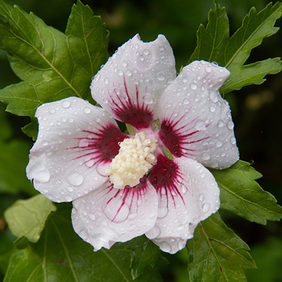 altheastruik (Hibiscus-syriacus-Red-Heart)
