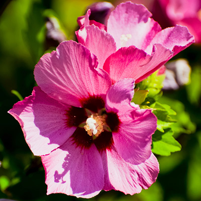altheastruik (Hibiscus-syriacus-Woodbridge)