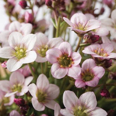 steenbreek (Saxifraga-x-arendsii-Ice-Colours-Pearl-White)
