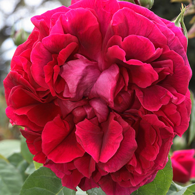 Engelse-David-Austin-roos-(Rosa-The-Dark-Lady)