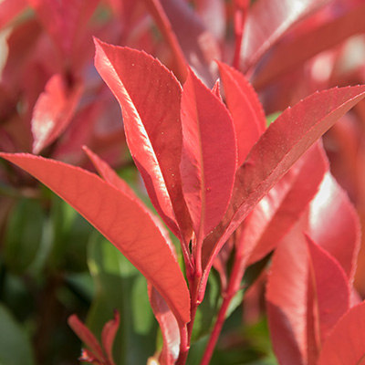 glansmispel (Photinia-Little-Red-Robin)