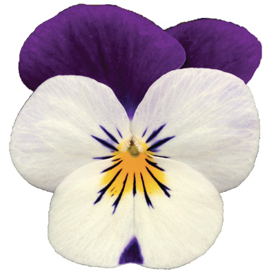 viooltje klein (Viola-cornuta-EVO-Mini-F1-Sorbet-XP-F1-White-Purple-Jump-Up)