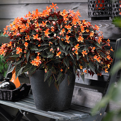 begonia (Begonia-boliviensis-Glowing-Embers-Orange)