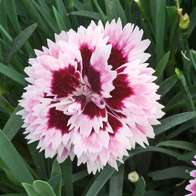 anjer (Dianthus Diantica<sup>®</sup> Lilac Eye)