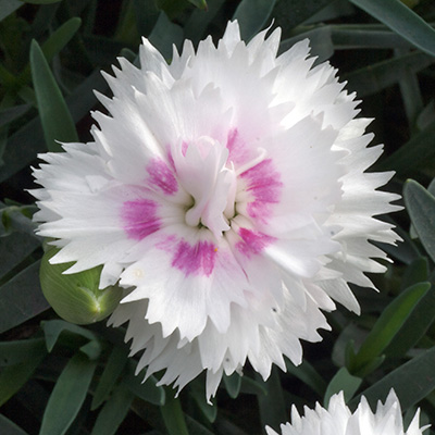 anjer (Dianthus Diantica<sup>®</sup> White Eye)