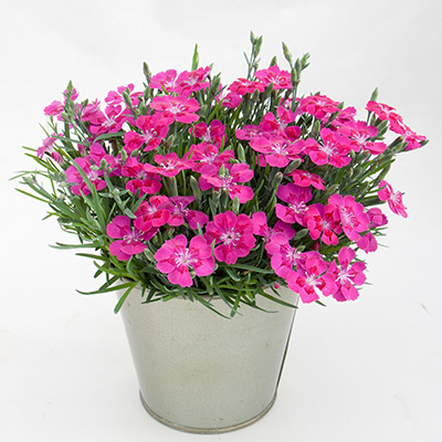 anjer (Dianthus Pillow Purple)
