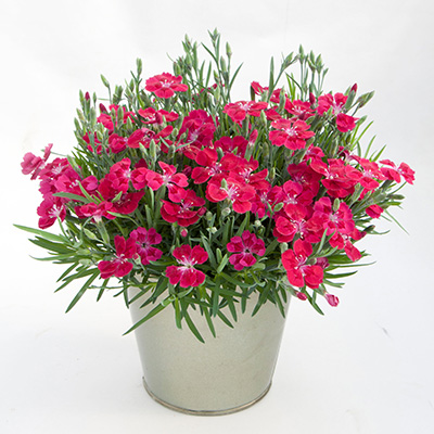 anjer (Dianthus Pillow Red)