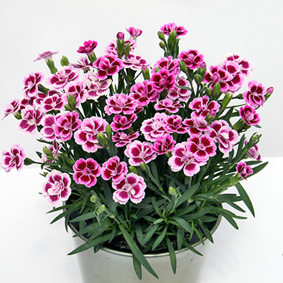anjer (Dianthus Pink Kisses)